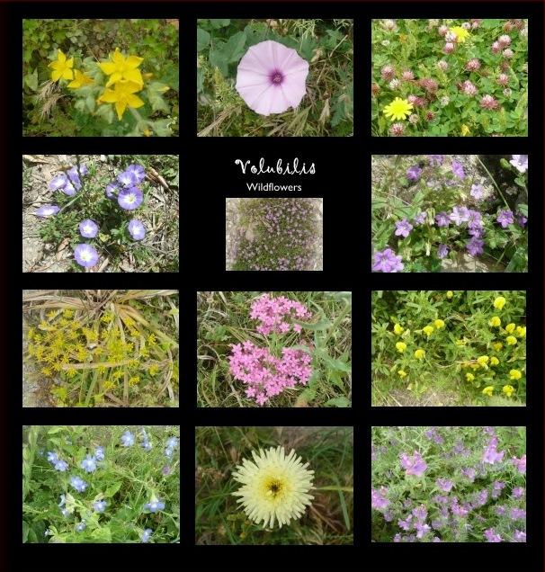 Volubilis flowers in my album