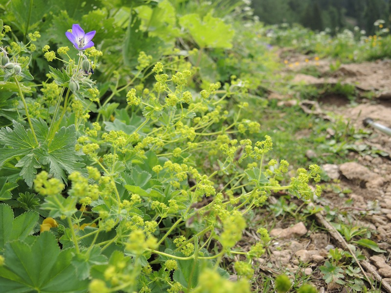 Alchemilla-sp.-in-the-Dolomites-forest