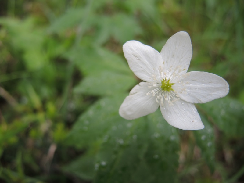 Anemone-trifolia-in-the-Dolomites-forest