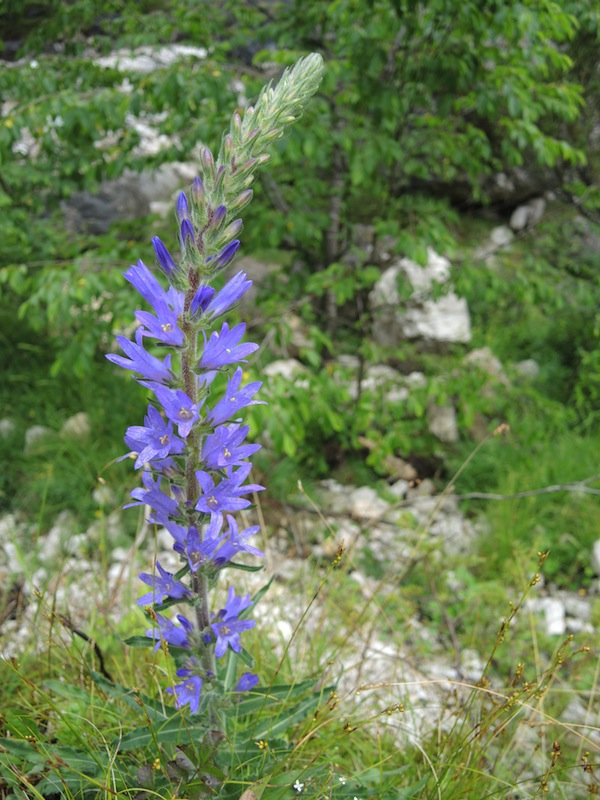 Campanula-spicata-in-the-Dolomites-forest