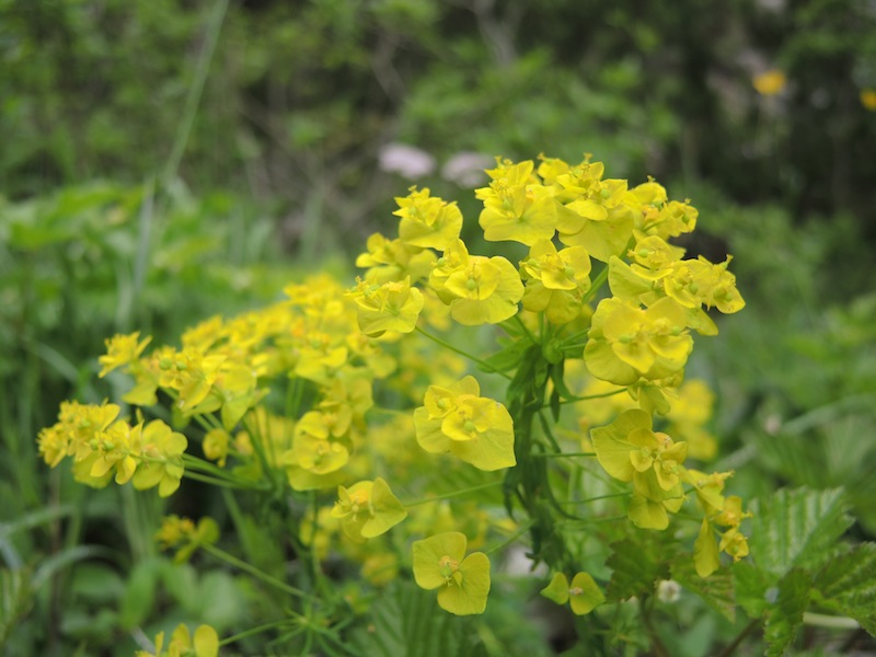 Euphorbia-sp-in-the-Dolomites-forest