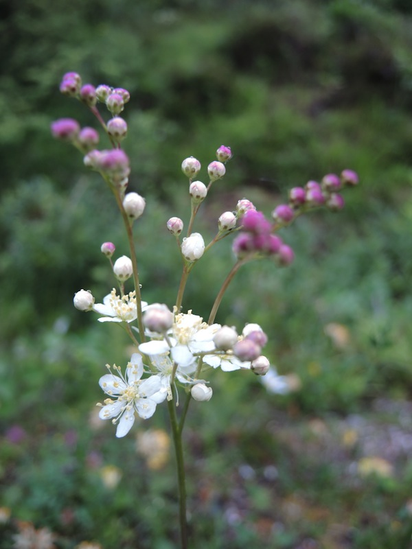 Filipendula-sp-in-the-Dolomites-forest