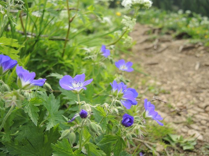 Geranium-pratense-in-Dolomites-forest