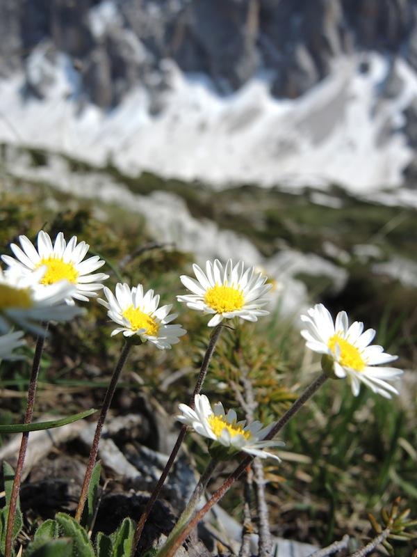 Leucanthemopsis alpina