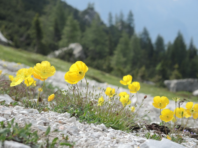 A rare and exciting find - Papaver alpinum ssp rhaeticum on the scree slopes
