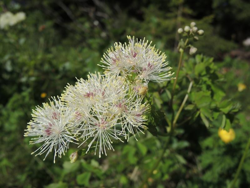 Thalictrum-aquilegifolium-in-Dolomites-forest