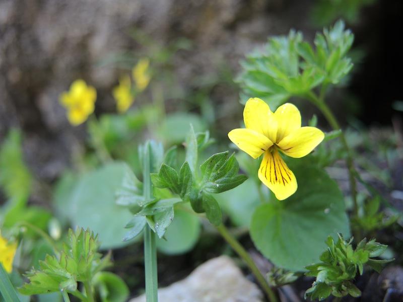 Viola-biflora