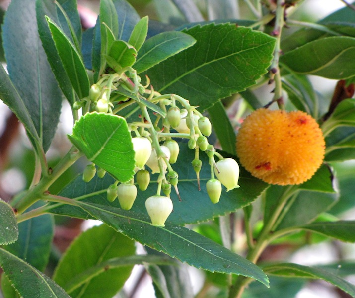 The strawberry tree is a distant relative of the pieris. The striking fruit turns from yellow to orange to red but despite its bright colour is said to have a bland taste
