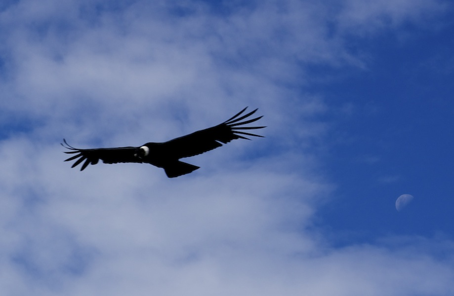 Condor doing 'fly bys'