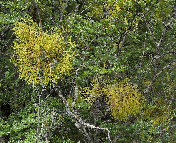 False mistletoe Misodendrum punctulatum
