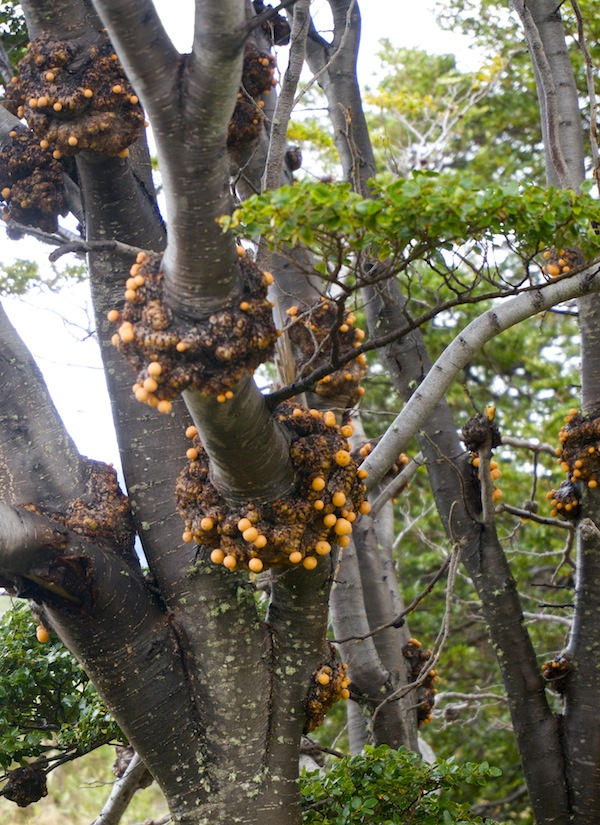Fungus Cyttara darwinii growing on Nothofagus trees