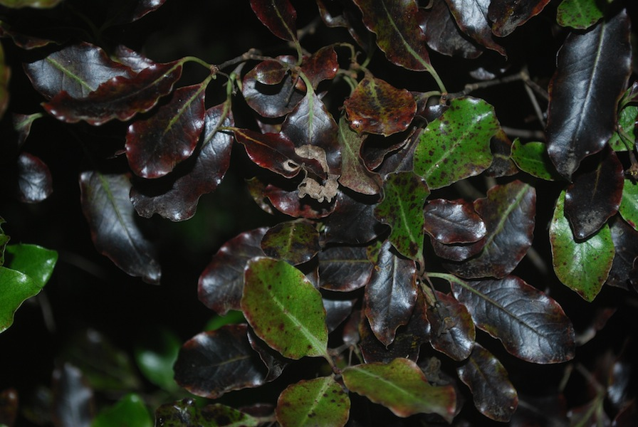 Pittosporum tenuifolium 'Tom Thumb'