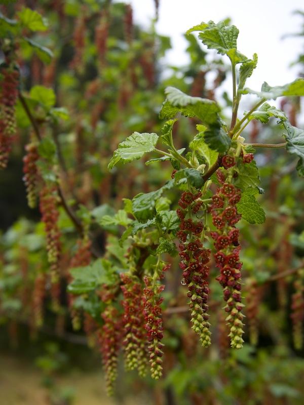 Parrilla – Wild Currant (Ribes magellanicum)
