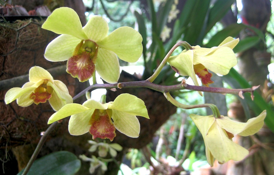 Costa Rican orchid