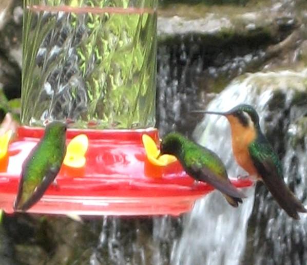 Hummingbirds at their feeding station