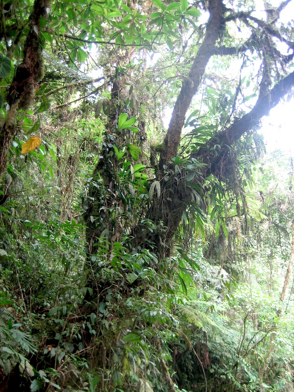 Tree dripping with epiphytes in the wild area of La Paz
