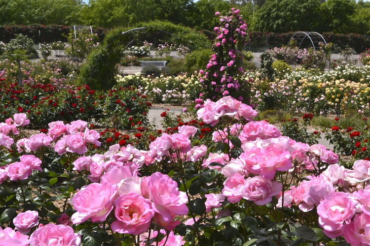 International Rose Garden At Adelaide Botanic Gardens