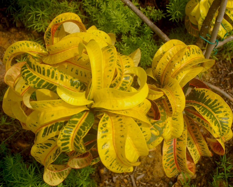 Codiaeum varigatum 'Ramshorn'