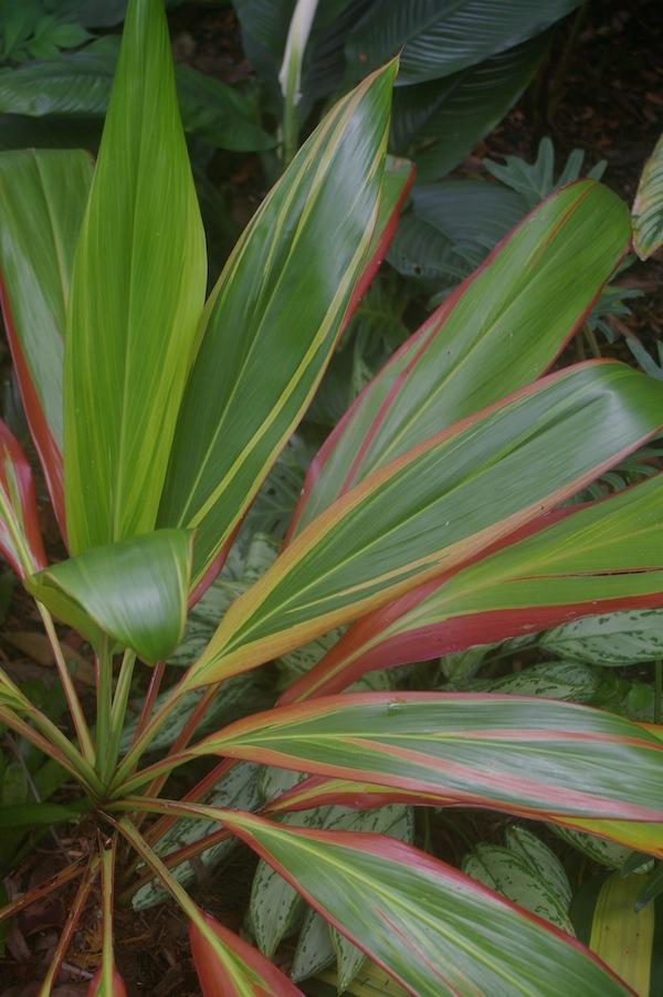 Cordyline fruticosa 'Schubertii' has stunning variegations