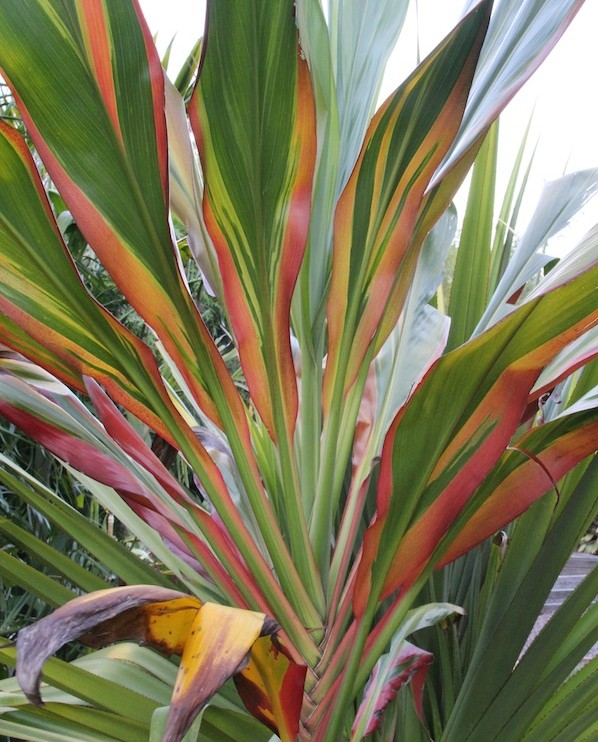 Cordyline fruticosa 'Sheperdii' is a giant