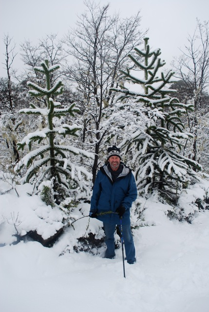 In Chile with monkey puzzle trees in the snow