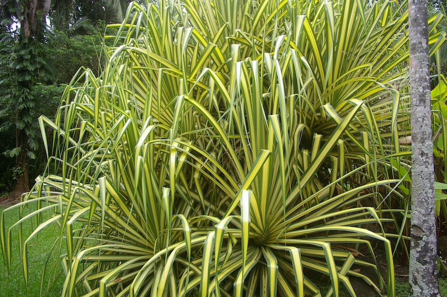 Pandanus tectorius 'Baptistii' has striking leaves