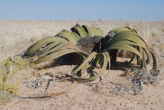 The world's ugliest plant in Namibia