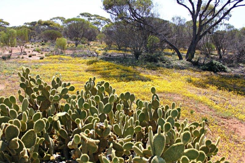 Cactus outside Frank Macklin's hut, near Canna, Western Australia
