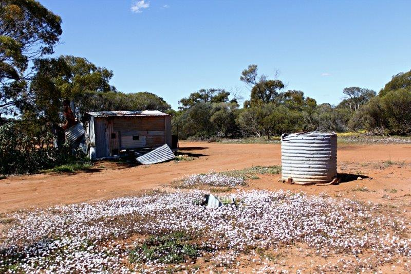 Everlastings and Frank Macklin's hut, near Canna, Western Australia