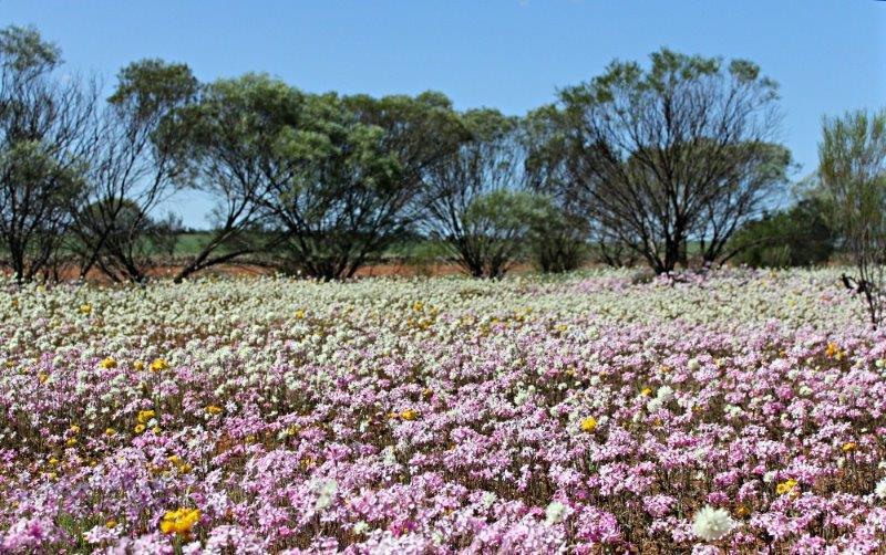 Everlasting daisies near Mullewa, Western Australia