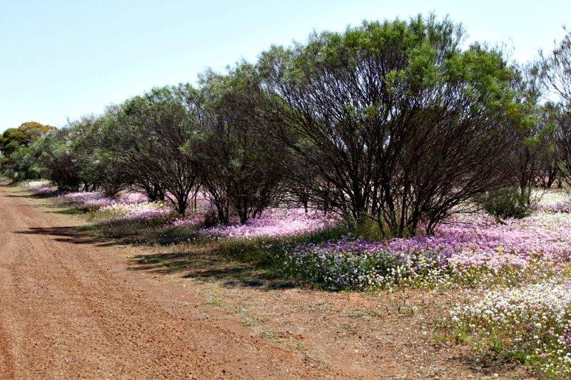 Everlastings, Mullewa