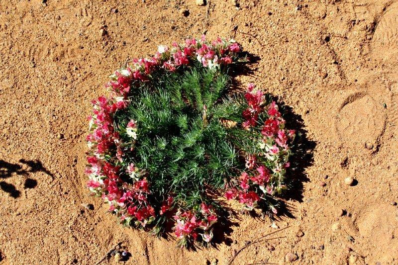 Wreath leschenaultia