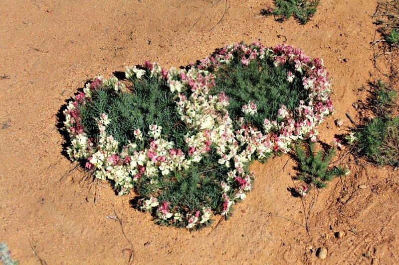 Interlocked wreath leschenaultia