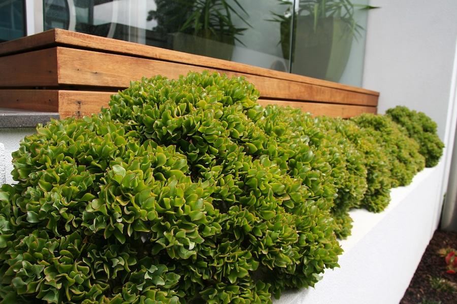 Garden design fest crassula ovata ripple jade design by for Garden design fest 2014
