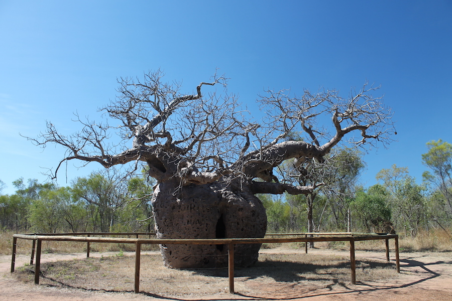 Scorched Boabs at Telegraph Hill Boab Prison Tree near Derby & Boab trees of the Kimberley - Garden Travel Hub