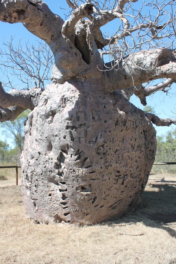 Boab Prison Tree trunk