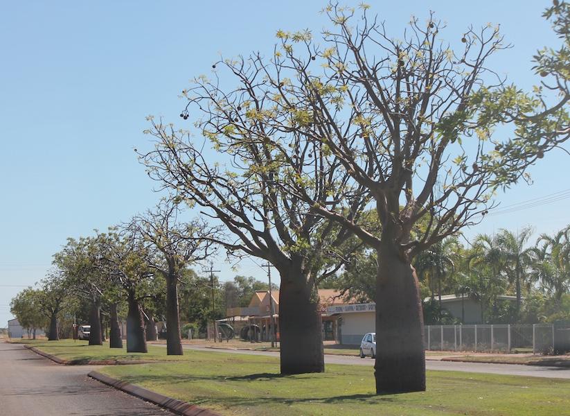 Boab street trees in Derby