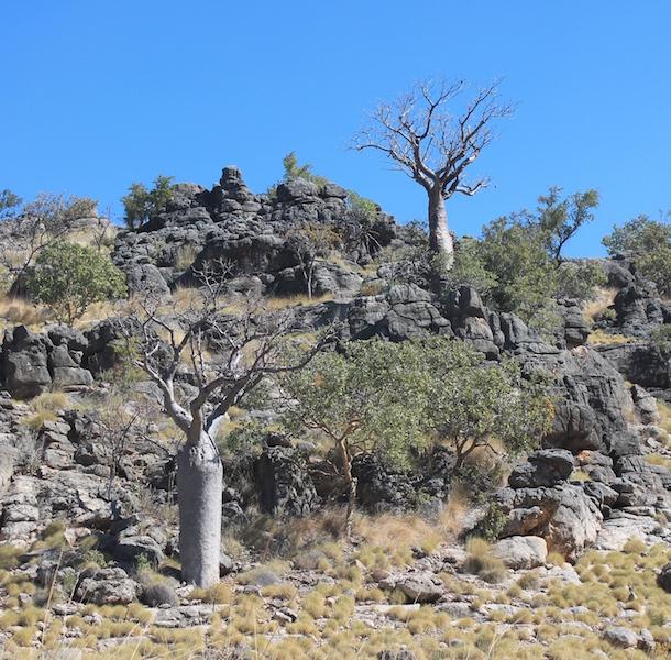 Boabs growing in ancient rocks near Tunnel Creek