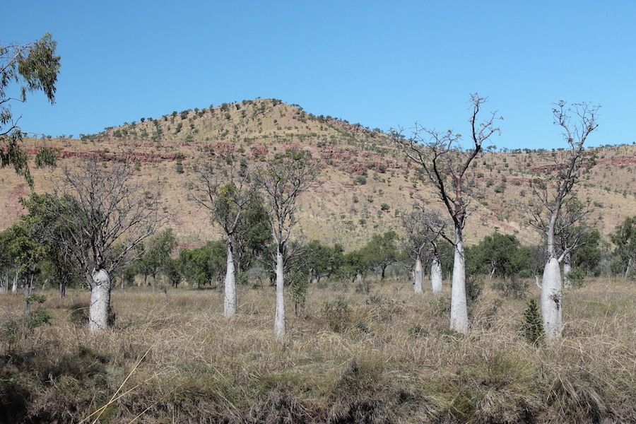 Boabs south of Wyndham