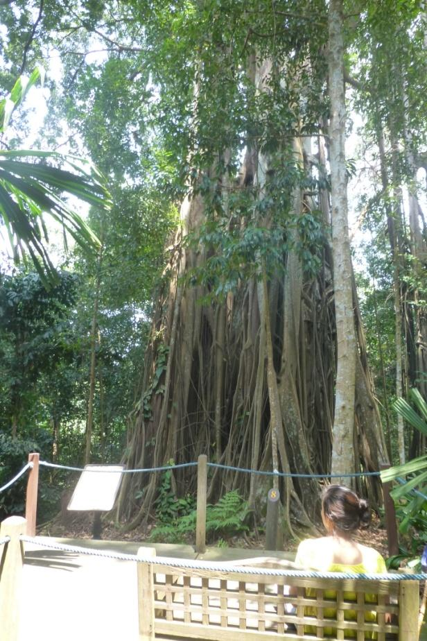 Ficus kerkhovenii, Johore fig – a critically-endangered 'strangler' fig in the rainforest section