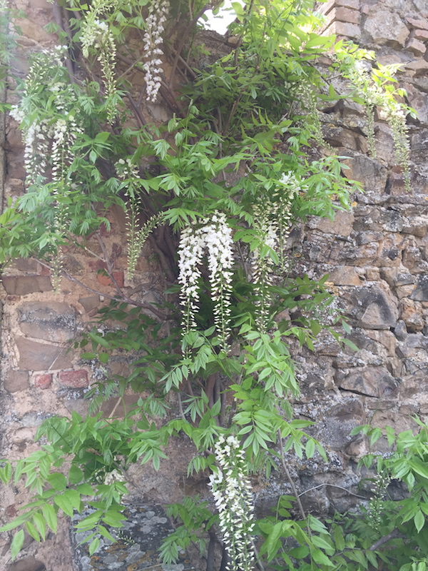 Walls with wisteria