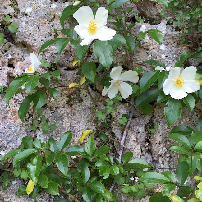 Roses against a wall