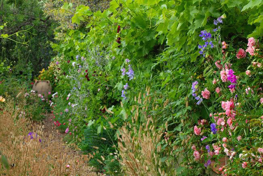 Native grasses and sweet peas in the Rose Walk at La Pietra Rossa in early June – Photo & design Maurizio Usai