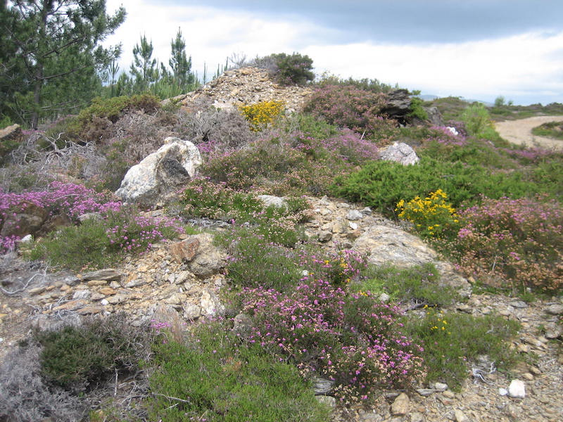 Portugal's Serra d'Arga Heather and gorse on a rocky outcrop, with pines in the background