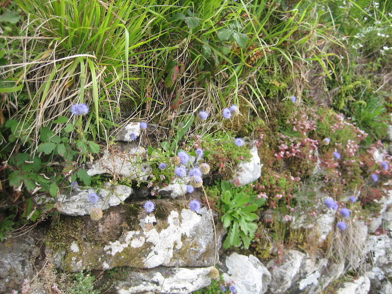 Portugal Serra d'Arga. Sedges and wildflowers, including blue Jasione montana, on dry stone wall