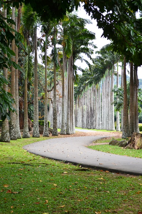 Palm avenue in Peradinya Botanic Garden, Kandy, Sri Lanka. Photo nuzree