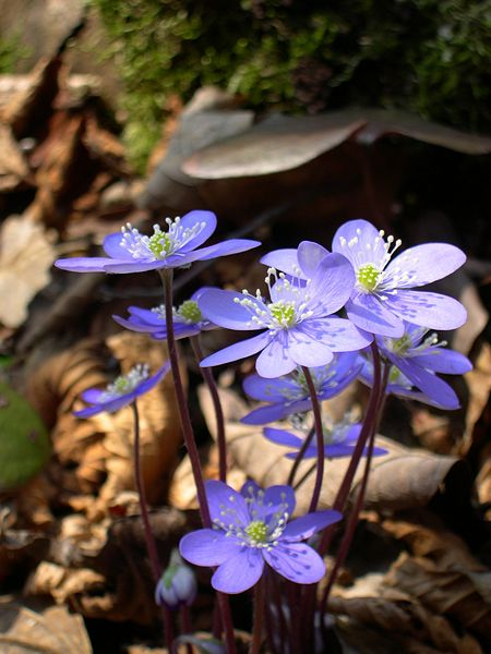 Hepatica nobilis flowers Photo Archenzo