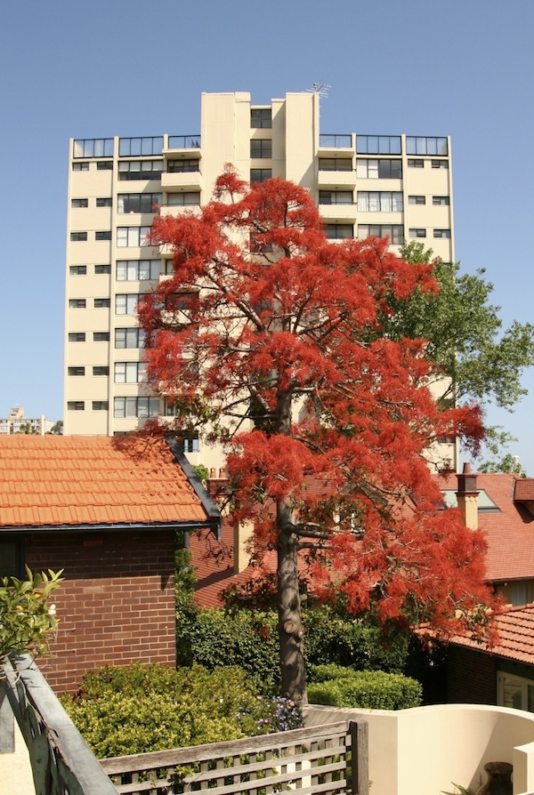 Dry spring deciduous Illawarra Flame Tree growing in Sydney