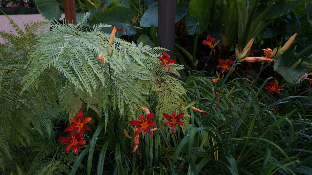Day lilies with ferns. Estufa Fria, Lisbon. Photo Dana Frigerio