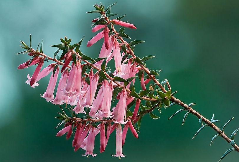 epacris-impressa-pink-form-photo-jj-harrison